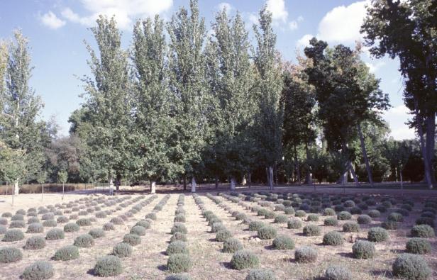 aranjuez-jardin-del-principe-lavandulas