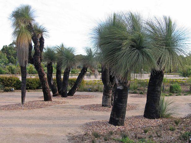 au-australis-kingia-australis-negro-gins-en-el-arido-jardinblackgins-cranbournevic