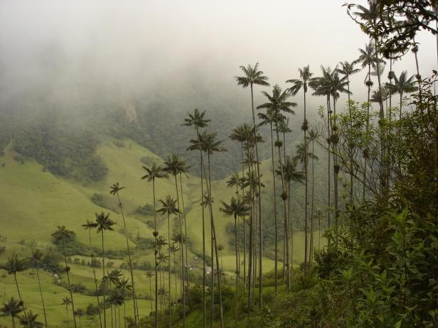 bogota-botanic-garden-ceroxylon_quindiuense_cocora