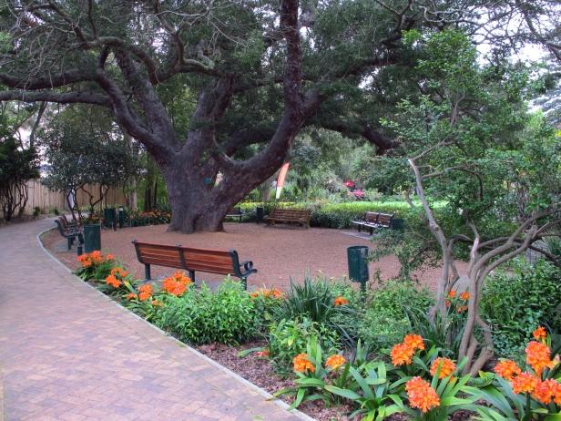 companys-gardens-south-africa-old-yellowwood-tree