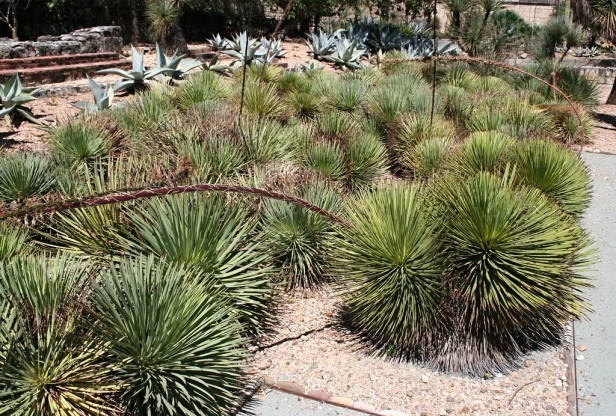 el-jardin-etno-botanico-oaxaca-mexico-agave-stricta-2