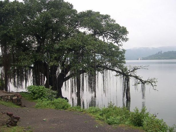 ind-arbol-nacionalbanyan_tree_on_the_banks_of_khadakwasla_dam