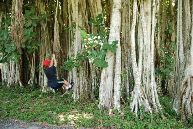jardin-botanico-de-cienfuegos-banyan-tree-2