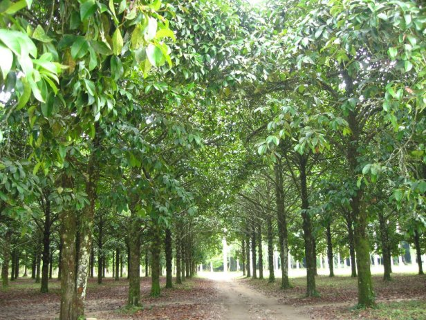 jardin-botanico-lancetilla-xg-mangroves-2