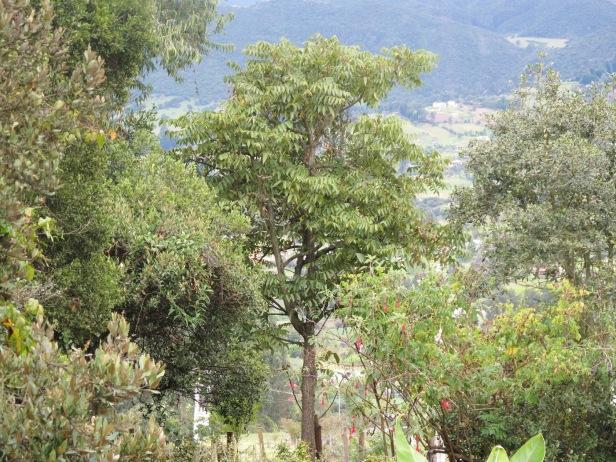 juglans-neotropica-como-arbol-insignia-de-bogota-nogal-frondoso