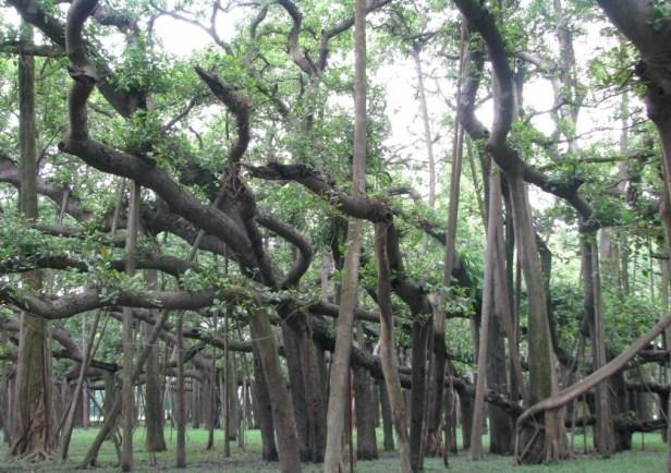 kolkata-botanic-garden-z