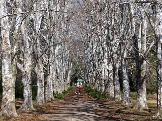kwazulu-natal-jardin-botanico-nacional-pietermaritzburg-sudafrica-plantane_trees_botanical_gardens_pietermaritzburg