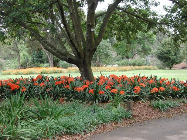 kwazulu-natal-national-botanical-garden-kwazulu_natal_clivias_original