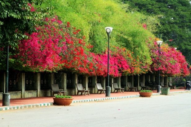 lalbagh-botanical-gardens-bangalore-india-bouganvillea-2
