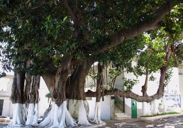 ma-ficus-elastica-parque-mandoubia-tanger-marruecos