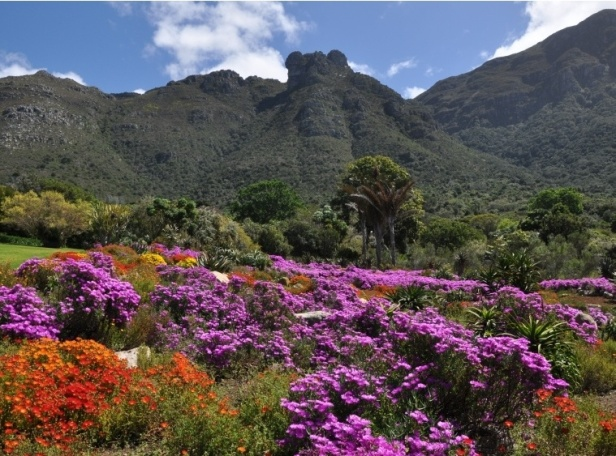 sa-kirstenbosch-cape-town-south-africaspring-at-kb-vygies