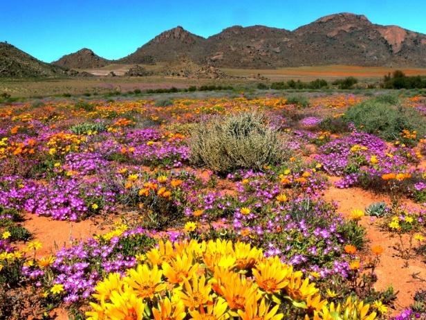 Namaqualand-wild-flower-re