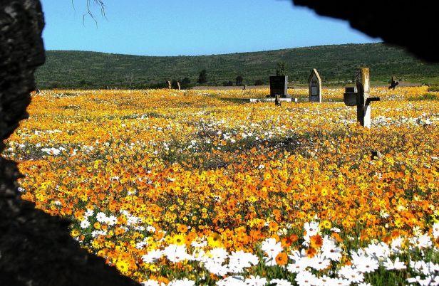 sa-namaqualand-wild-flowernamaqualand-flowers-graveyard