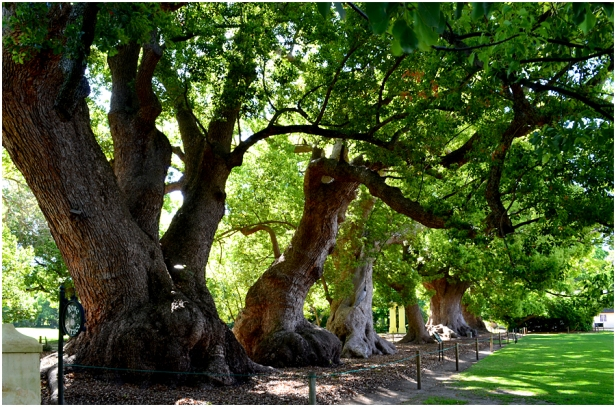 sa-these-old-camphor-trees-were-planted-by-van-der-stel-between-1700-and-1706