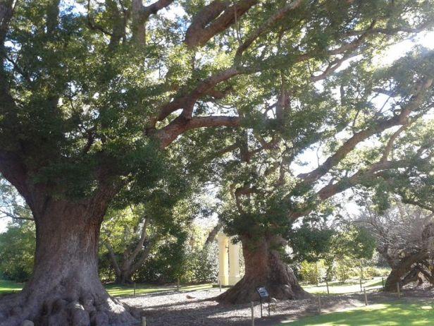 sa-vergelegen-winelands-cinnamomum