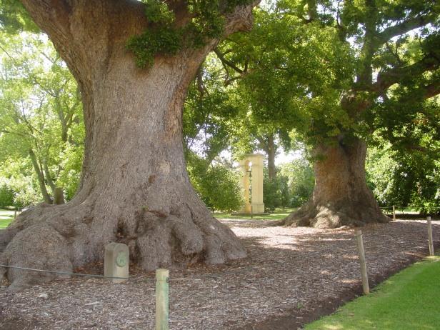 sa-wine-vergelegen-camphor-trees