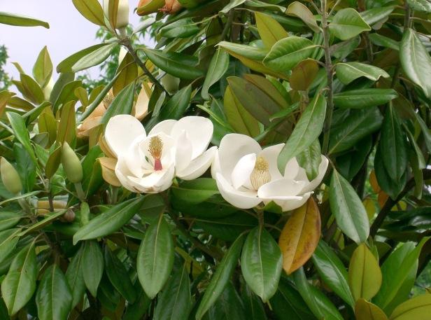 usa-magnolia_grandiflora