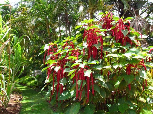 alerton-garden-acalipha