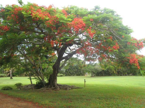 kauai-flamboyant