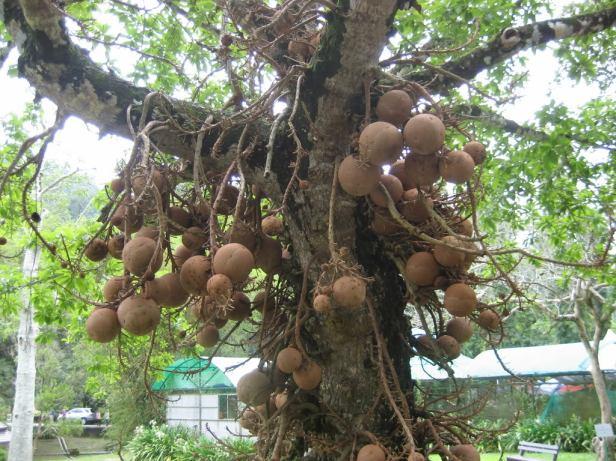 penang-botanical-garden-balon-tree
