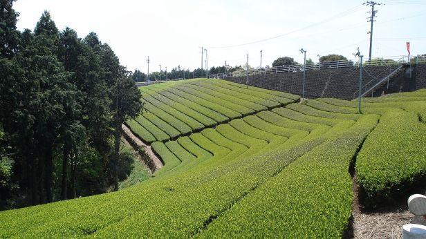 rose-valley-cameron-highlands-atea_plantation