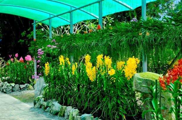 sarawak-orchid-garden-kuching-malasia-aranda-lion-gold-ls