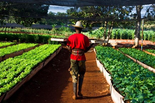 senador-fong-plantation-comida-organica-7