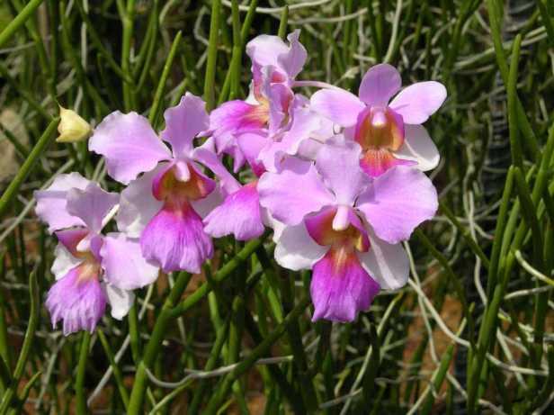 singapore-05-05-singapore-botanic-gardens-national-orchid-garden-vanda-miss-joaquim-orchid