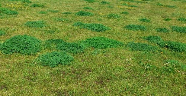 Manejo integrado de malas hierbas en el huerto y el jard n for Hongos en el cesped jardin