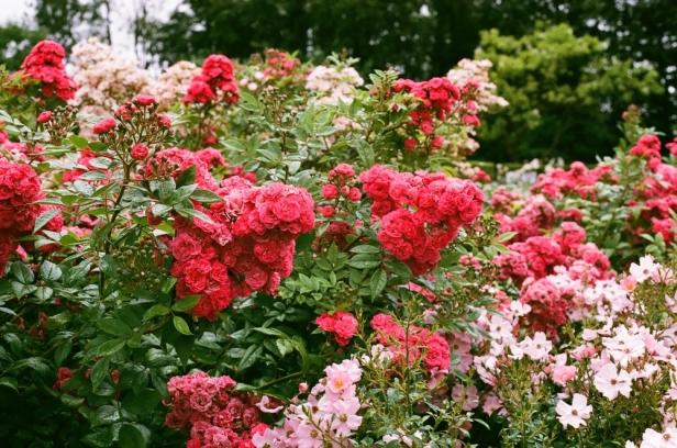 International Rose Garden Kortrijk.KortrijkBelgium_MichelleAlynn_05