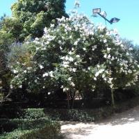 Los 10 árboles de flor Top Ten semipersistentes o caducos en Sevilla