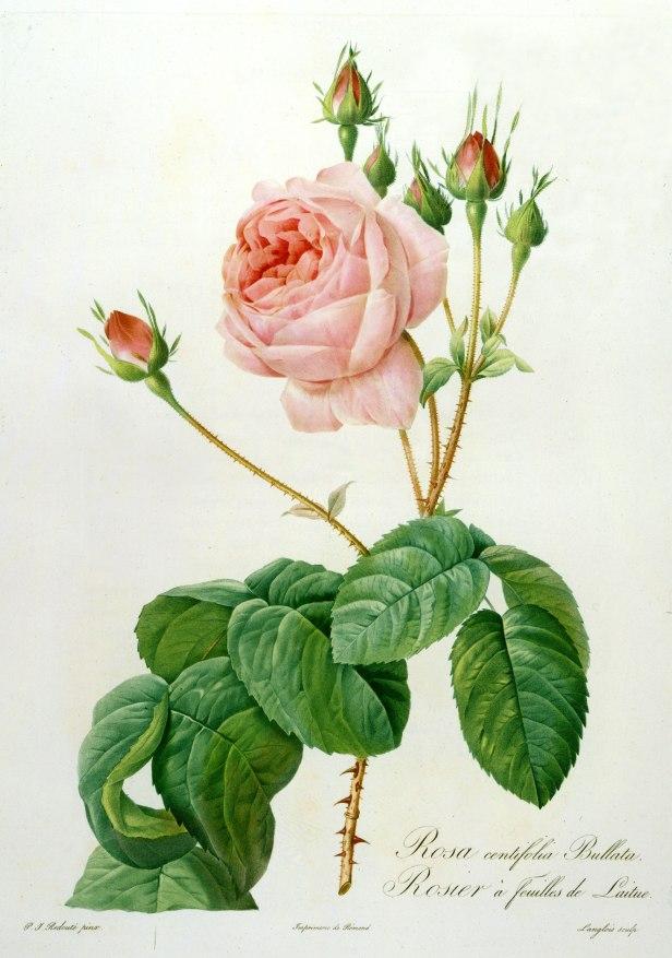 Rosarium Pierre Joseph Redouté.-a