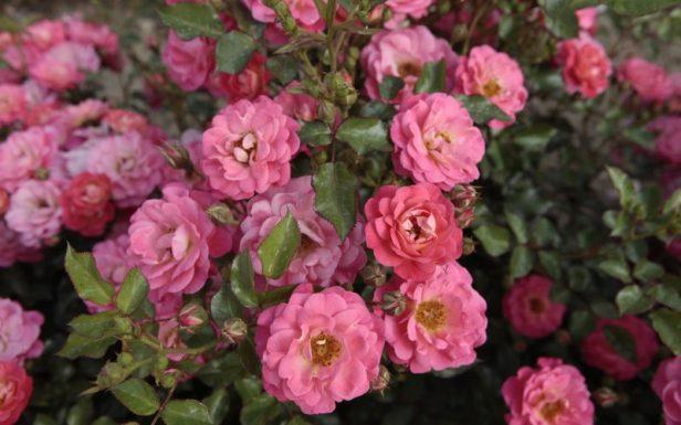 Rose Garden, Rivierenhof.-ko