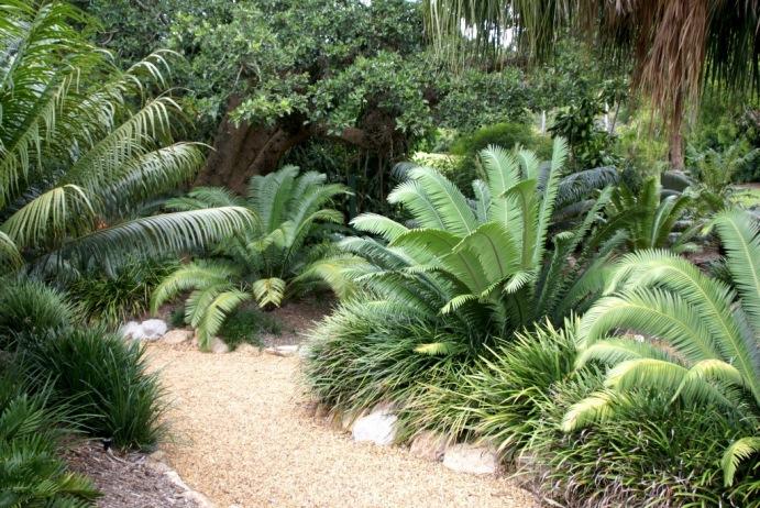 Brisbane Botanic Gardens.-Cicadaceas