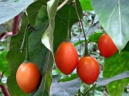 Tomatillo.-Cyphomandra betacea