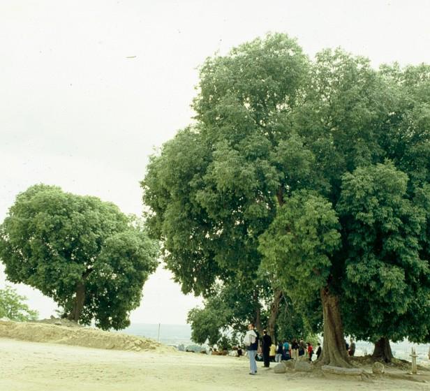 Celtis australis en Medina Azhara