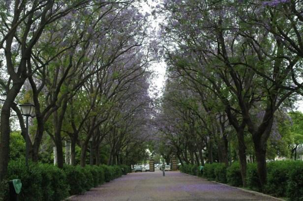 Sevilla.-Jacaranda mimosifolia en el Parque de los Principess