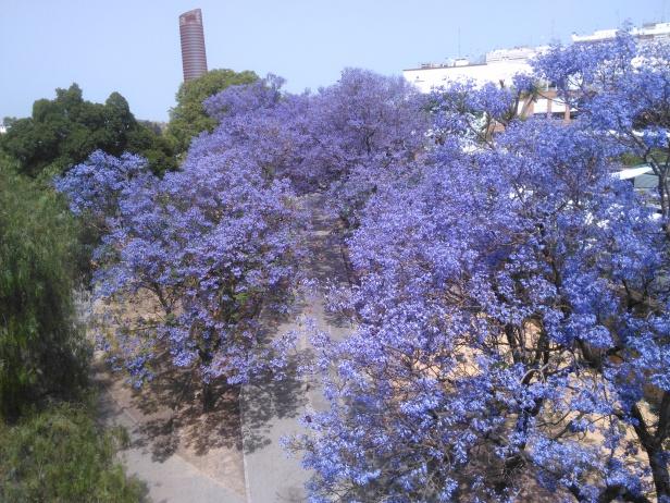 Sevilla .-Jacarandas en Jardines de Chapina