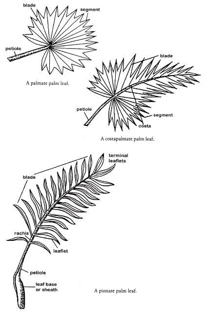 Morfologia Y Anatomia De Las Palmeras Jardines Sin Fronteras