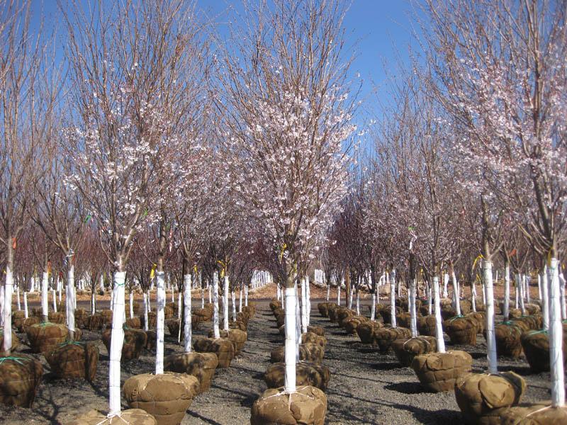 viveros de arboles ornamentales jardines sin fronteras