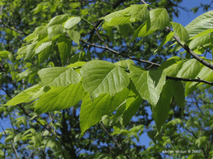 Celtis occidentalis.-hackberry_1