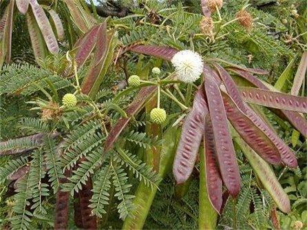 Leucaena leucocephala