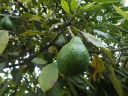Aguacate Hacienda_Chorlavi_pic._aa906350