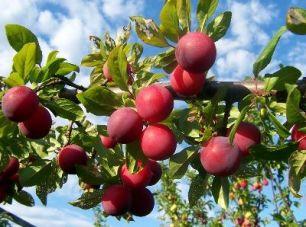 Aprium.-fruta-ciruelo