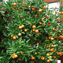 Calamondín - Citrofortunella mitis