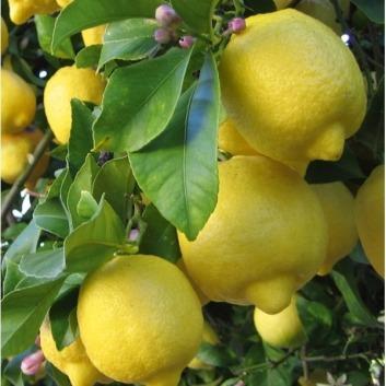 Citrus Limon.-k