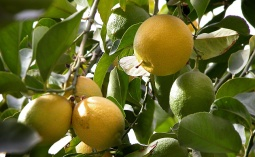 Citrus Limon.-limonero5