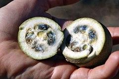Genipa_americana_L._fruits_(codiferous)