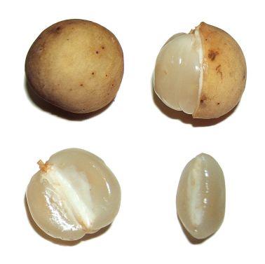 Langsat.-Lansium-parasiticumLansiumdomesticumfruit