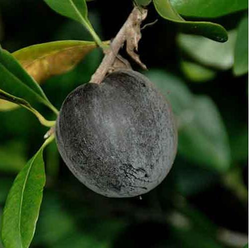 Manzana negra